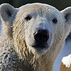 Wildlife Fears Over British Billionaire's Plans for Arctic Mega-Mine